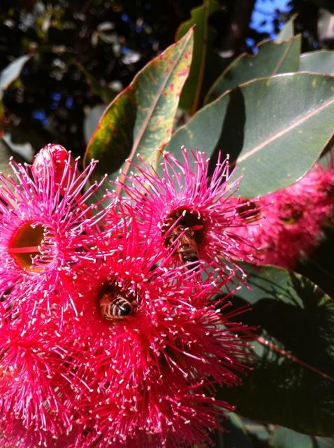 Bees in Red Flowering Gum